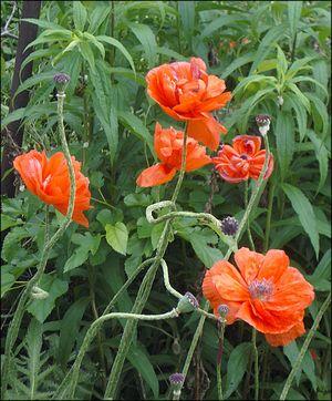 Poppies9872