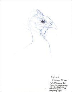 090904HGuineaFowl